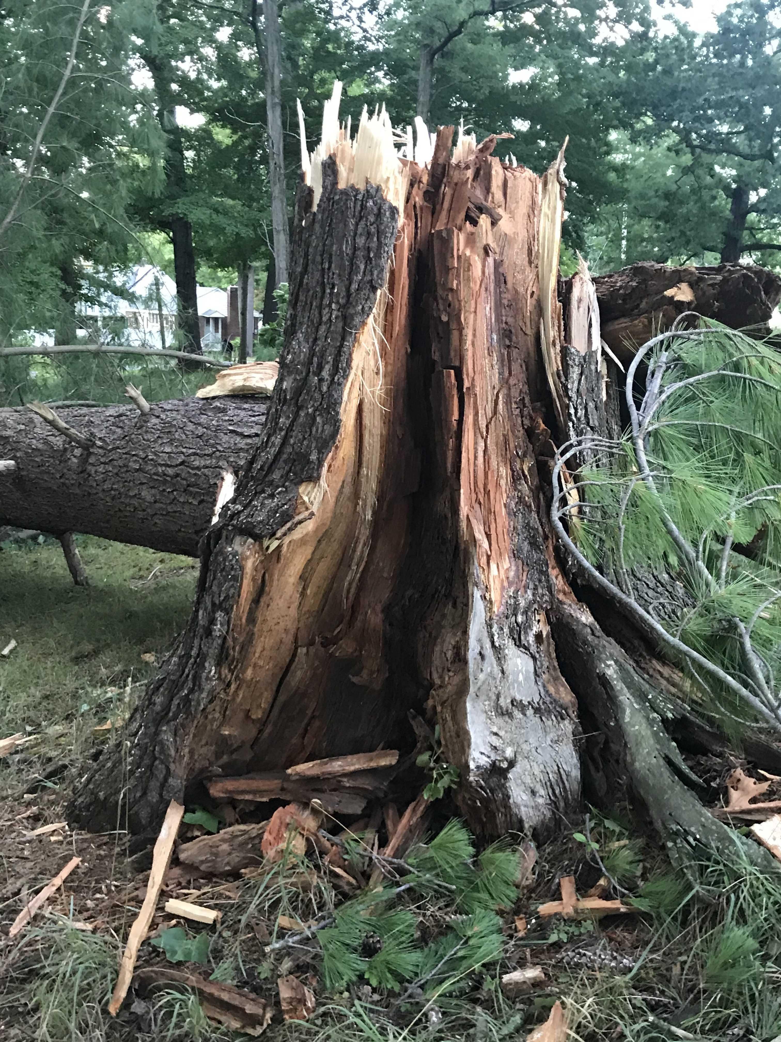 Maple (Depew tree)